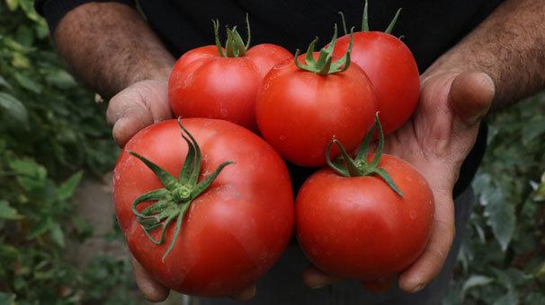 Isparta'nın köyünden Avrupa ve Ortadoğu'ya domates ihracatı